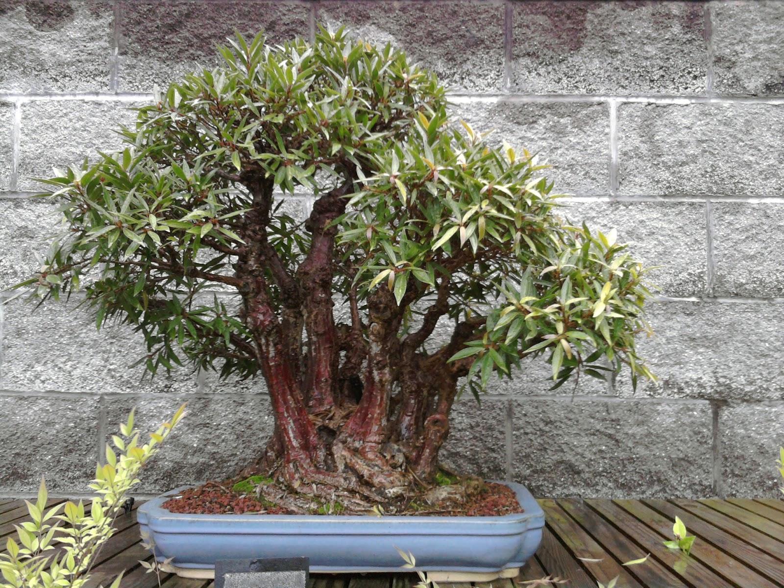 Yorktown Bonsai Norfolk Botanical Garden VA