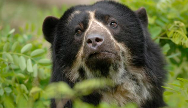 Download image Andean Spectacled Bear PC, Android, iPhone and iPad ...
