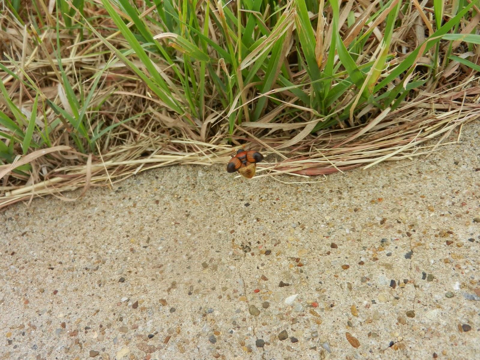 texas field beetle