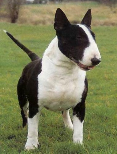 Medium Sized Dog Breeds Bull Terrier Image