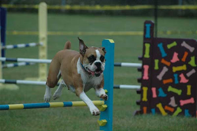 boxer-dog-training-videos