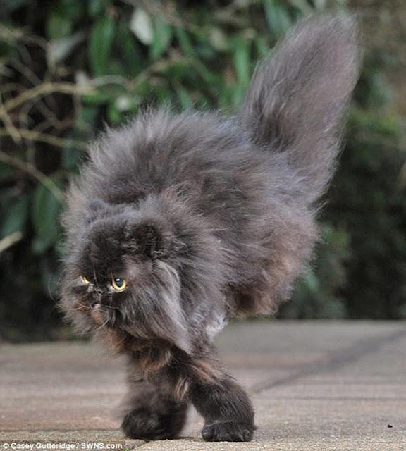 Caffrey gato persa de dos patas