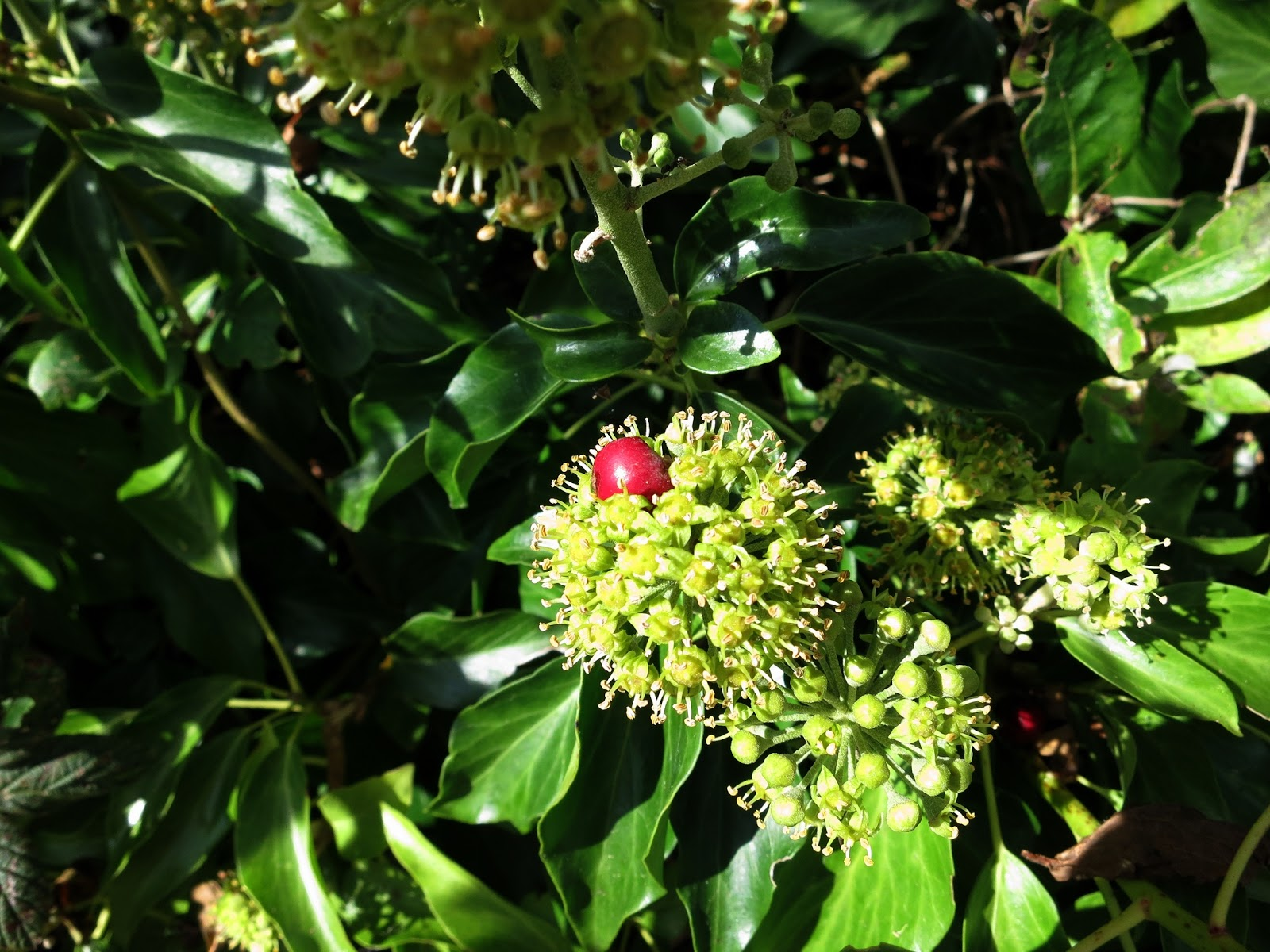 A pom-pom of ivy flowers upon which a single bright red haw has fallend