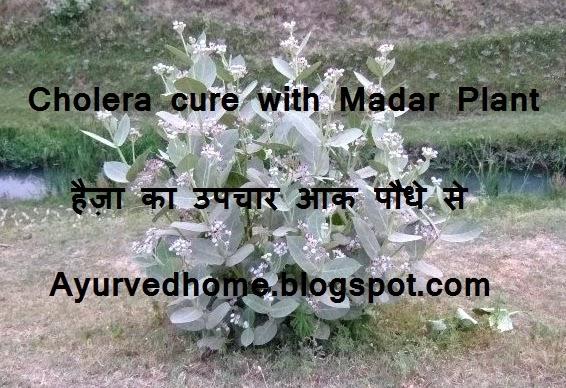 Madar Plant for Cholera Disease,  हैज़ा का उपचार आक पौधे से,  Haiza or madar