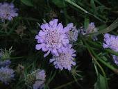 Field scabious,