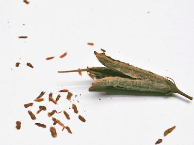 Семена рододендронов