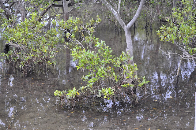 Carawah Reserve mangroves