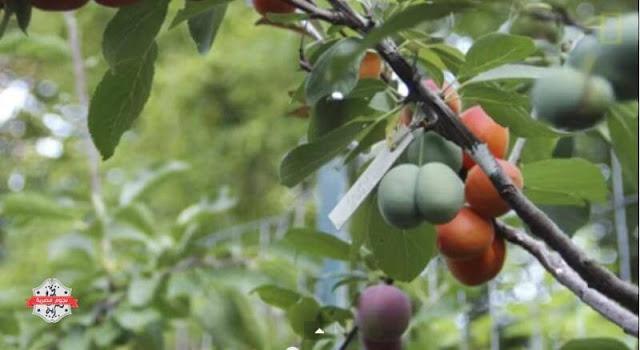 بالفيديو تعرف على الشجرة التى تنتج اربعين نوعا من الفاكهة في وقت واحد