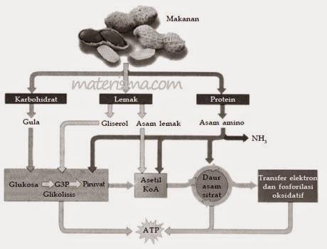 http://www.materisma.com/2014/08/hubungan-antara-katabolisme-karbohidrat.html
