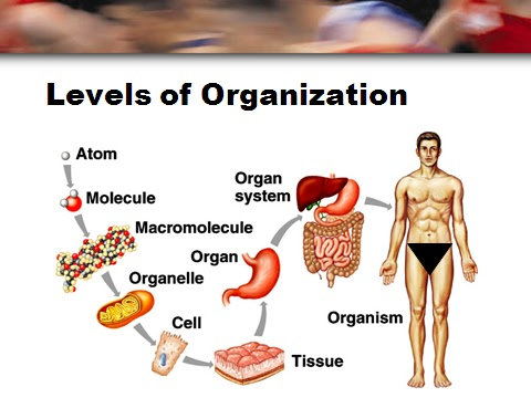 Ison Human Biology Module 1 Notes Introduction To Anatomy Physiology