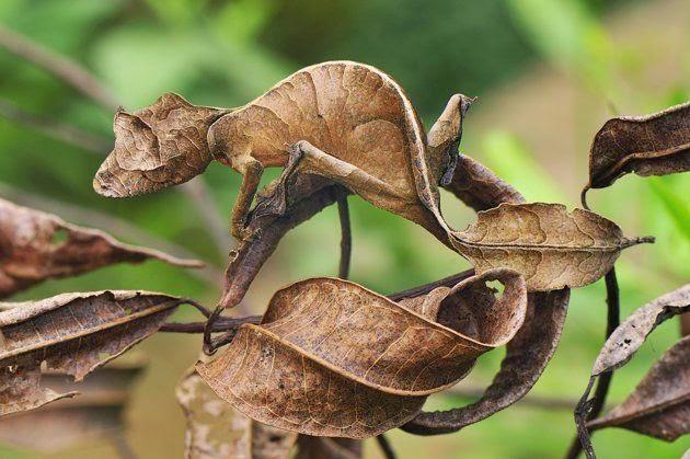 geco satanico coda di foglia