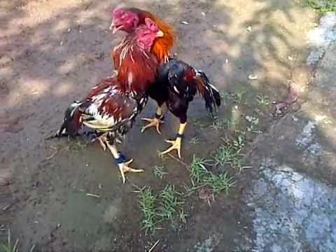 Tips merawat ayam aduan sebelum berlaga