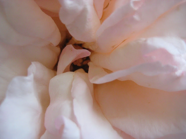 Intimate Rose by LeAnn B. at home garden for (l&l)
