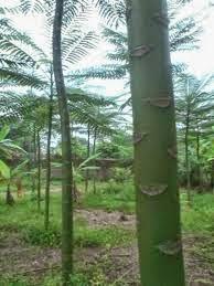 jual pohon pohon purba