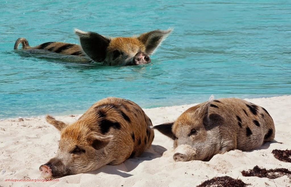 Đảo heo Big Major Spot – Bahamas 5