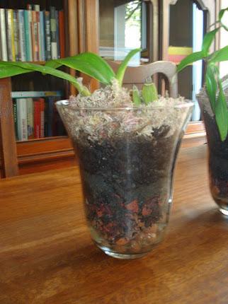 Orquídea plantada no vaso de vidro.