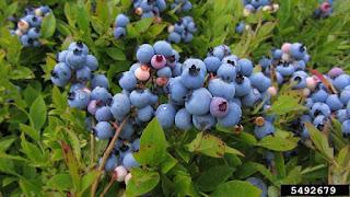 Manfaat dan khasiat buah blueberry untuk kesehatan mata dan jantung