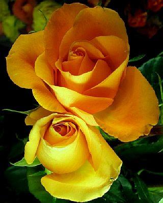 <<<Poemas de colores...>>> Rosas+Amarillas+42