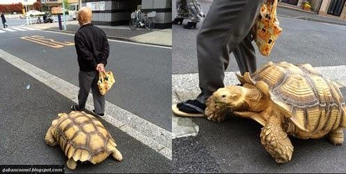 Dianggap Anjing Kura Kura Ini Diajak Bersiar siar Oleh Pemiliknya Keliling Tokyo