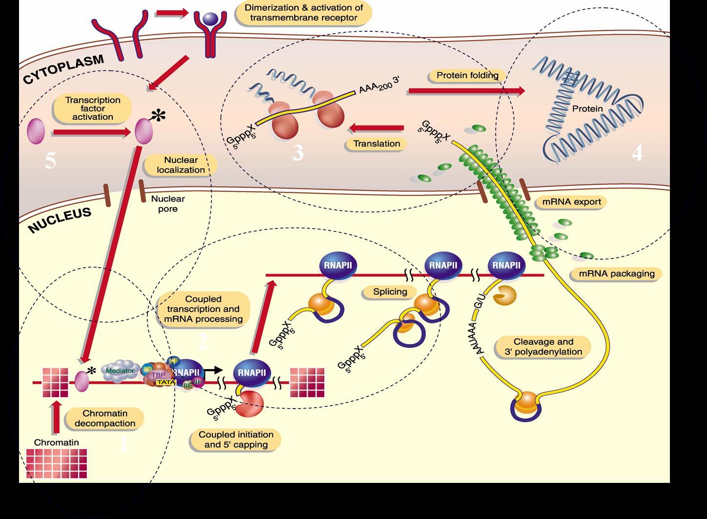 virus y bacterias en el proceso de la genetica: