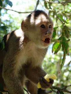 mono capuchino 1