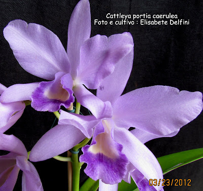 Cattleya Portia  Caerulua do blogdabeteorquideas