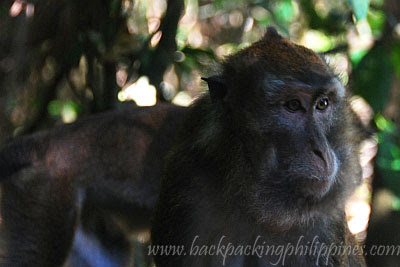 monkey long-tailed macaque