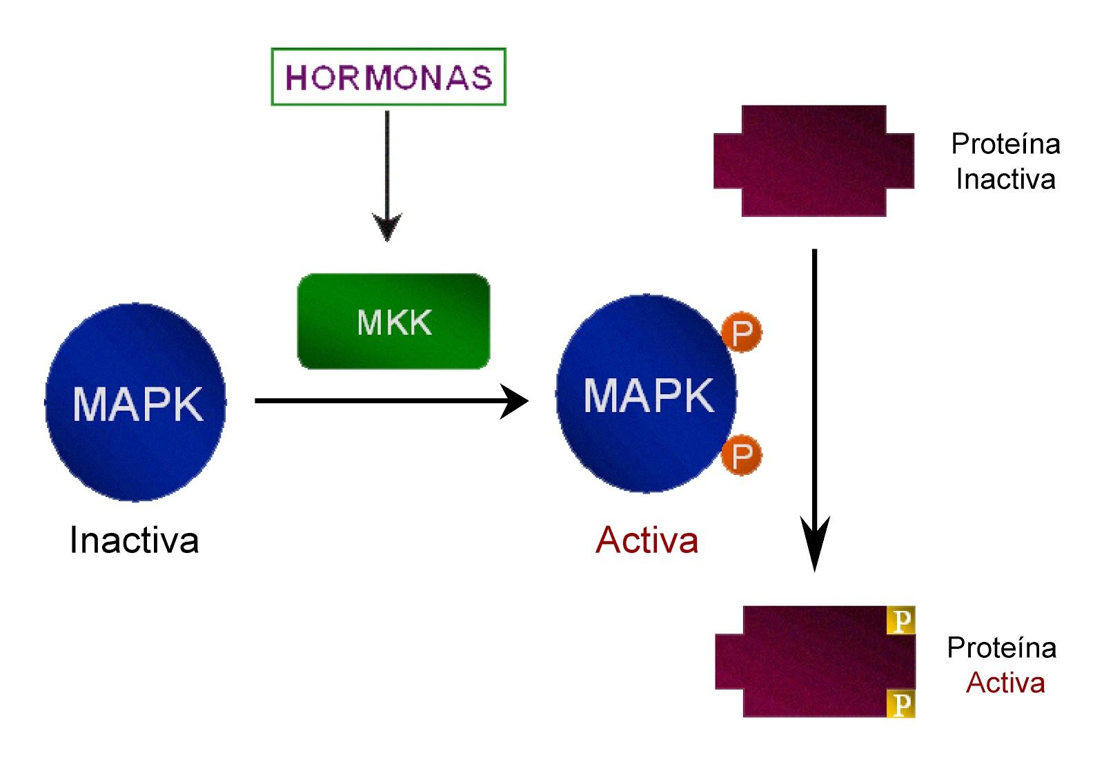 Activación de la respuesta celular por fosforilación de proteínas