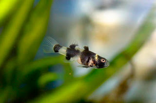 bumblebee goby tropical fish