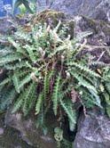 Symphytum la pianta dell 39 oro la felce - La felce pianta ...