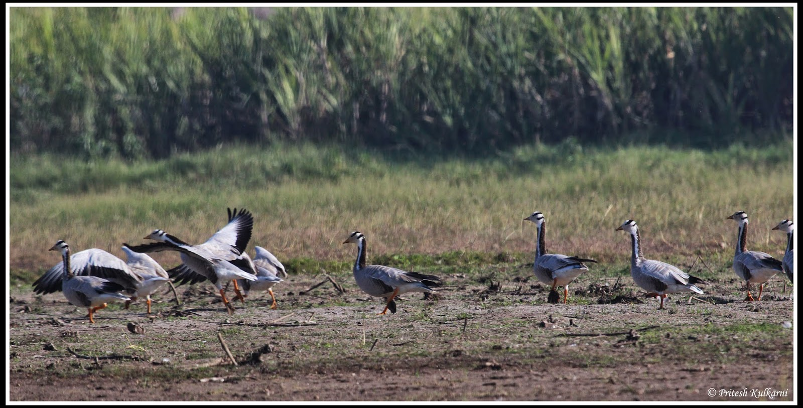 Bar headed goose at Bhigwan