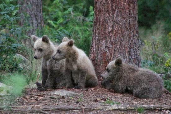 Ficha de Especie: El Bosque de Lenga (Nothofagus pumilio  - imagenes de animales que viven en el bosque