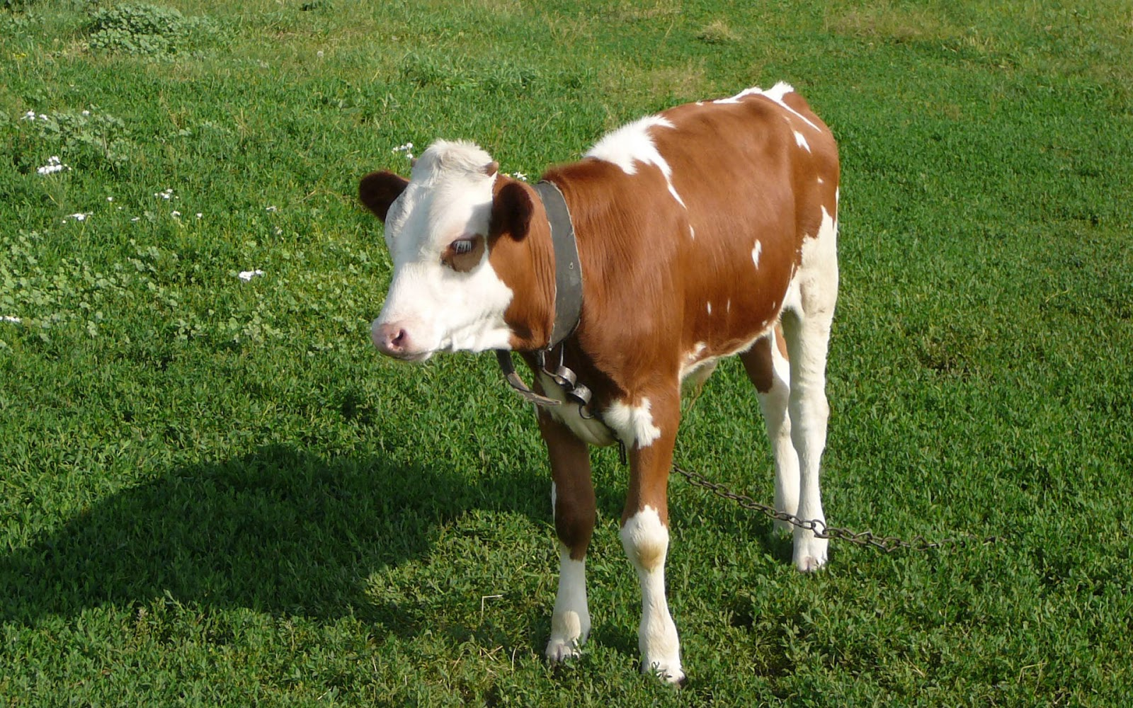 related pictures cute cows - photo #24