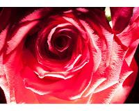 fotografii trandafiri