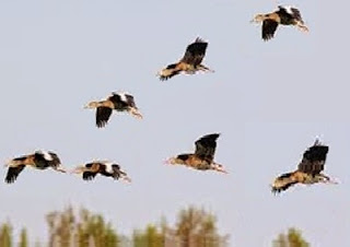 Perché gli uccelli volano nella formazione a V