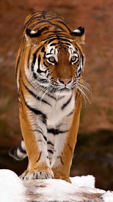 iphone 6s tiger Wallpaper