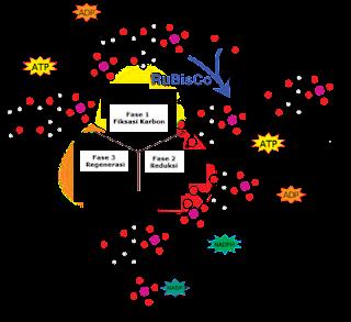 siklus Calvin-Benson Fotosintesis