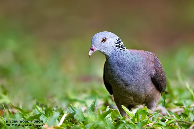 Nilgiri wood pigeon Columba elphinstonii