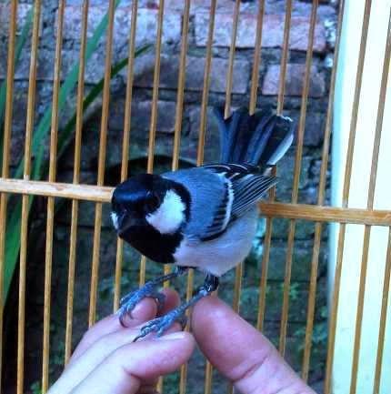 http://ilmukicau.blogspot.com/p/perawatan-gelatik-wingko-perawatan_29.html