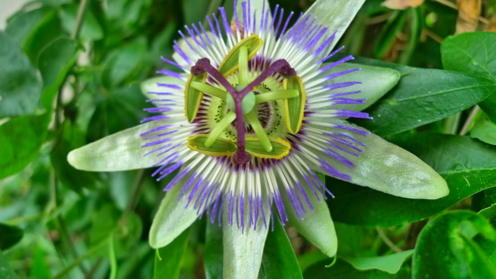 The spice doc edible and medicinal flowers - On A Most Recent Trip To Paris I Was Lucky Enough To Catch Sight Of The Absolutely Spectacular And Surreal Passion Fruit Flower Which Begins To Fruit In The