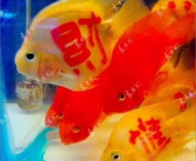 Gambar Tatto on Baru Di China  Ikan Emas Bertatto  Golden Fish With Tatto  11 Gambar