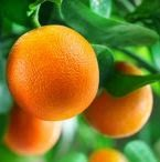 kandungan buah jeruk, kandungan jeruk, kandungan gizi buah jeruk;