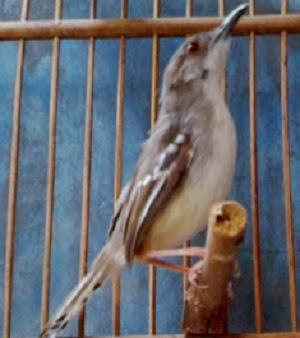 Cara menjinakkan burung ciblek termudah