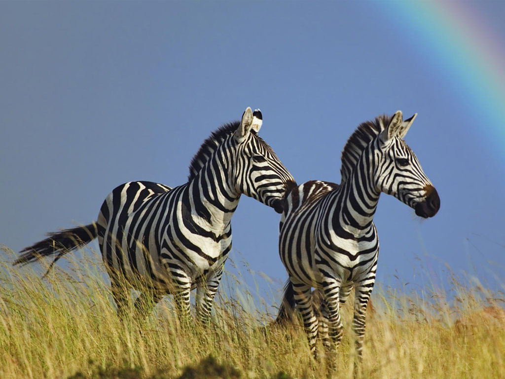 Zebra Wallpaper 25 - Best FREE Wallpaper Collection