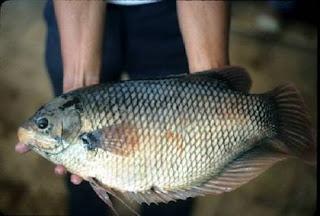 Manfaat Budidaya Ikan Gurame dan Keuntungannya