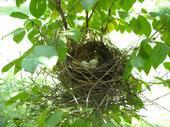 A Cardinal's nest in my Crape Myrtle