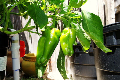 Sweet Costa Rican Peppers on Alejandro farm
