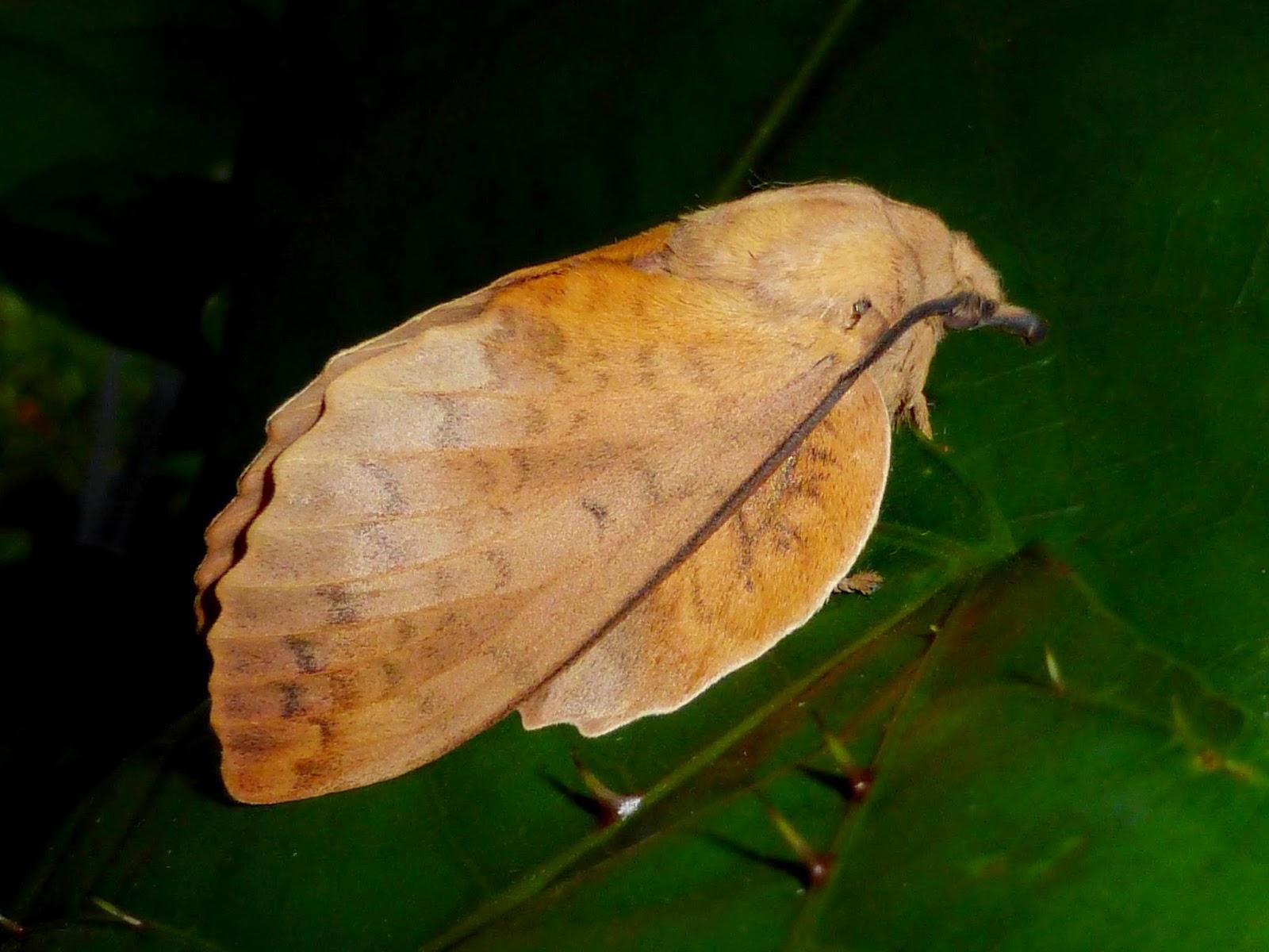 Gastropacha horishana female
