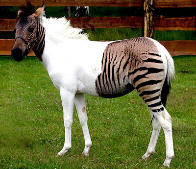 WHAT IS THE DIFFERENCE BETWEEN A ZEBRA AND A HORSE?