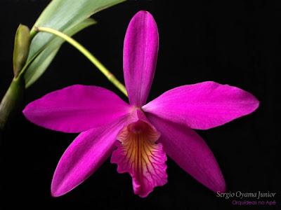 Mini-orquídea Laeliocattleya Pink Favourite